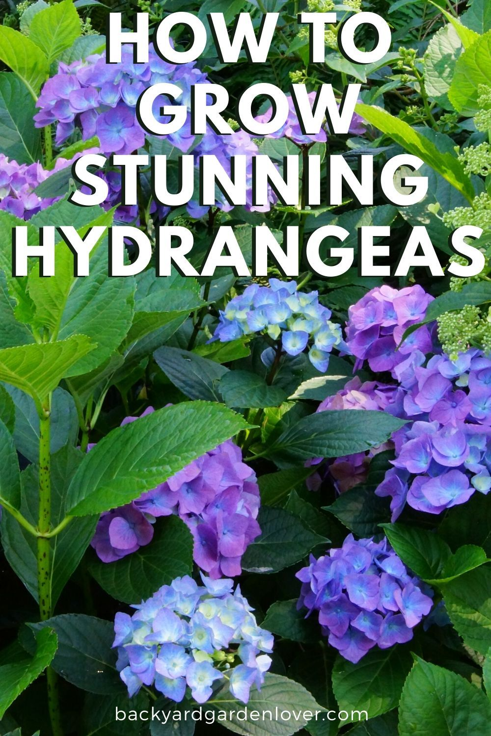 How To Care For Hydrangea Plants Bushes Tips For Gorgeous Hydrangeas In 2020 Planting Hydrangeas Hydrangea Care Garden Care