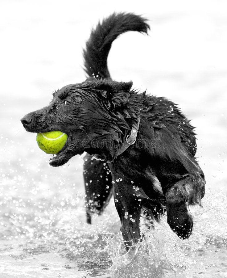 Dog with tennis ball. Running through water ,