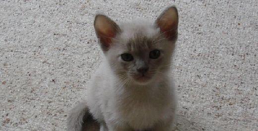 Burmese Kittens Too Cute Burmese Kittens Burmese Cat Kittens