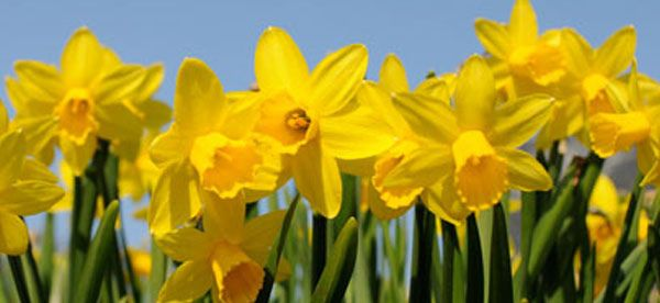 Why The Daffodil Has A Very Special Meaning For Me Daffodil Bulbs Daffodils Daffodil Day