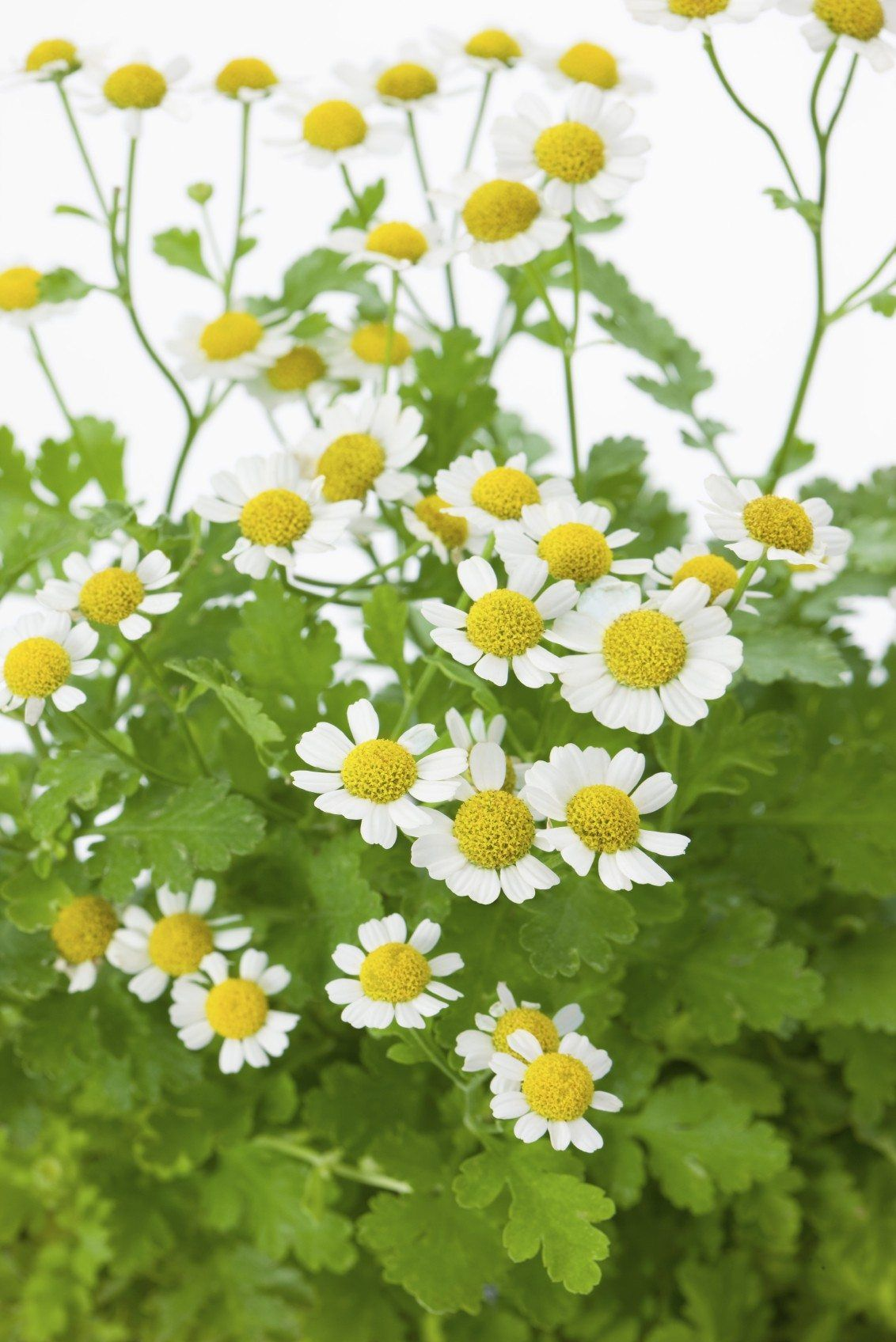 Harvesting Feverfew Herbs How To Harvest Feverfew Plants In 2020 Feverfew Plant Herbs Feverfew