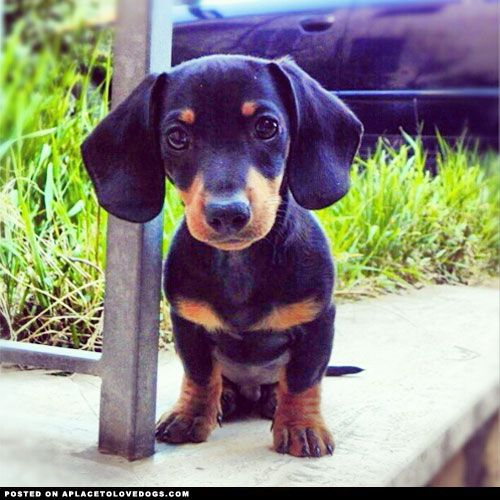 Puppy Is All Ears Aplacetolovedogs Com Dog Dogs Puppy Puppies