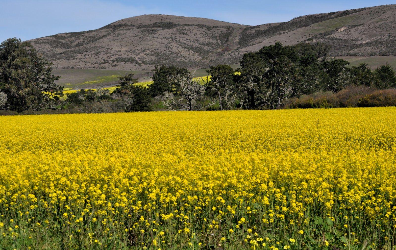 Mustard Field In Half Moon Bay Ca California Photos Places To