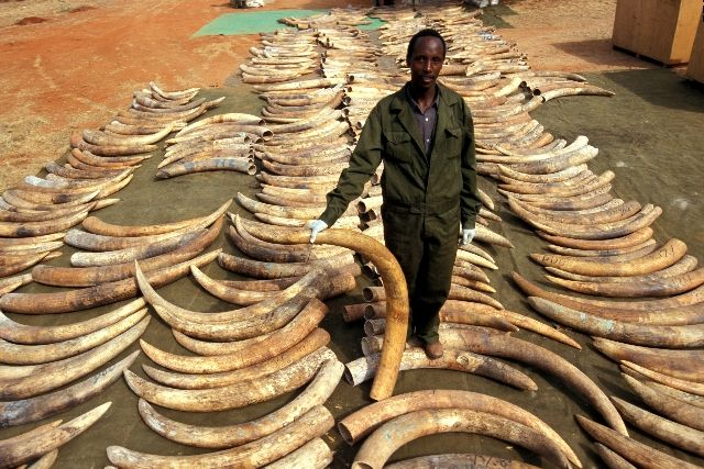 """Original source Top conservation organizations warned Wednesday that the illegal ivory trade is hastening the decline of Africa's already endangered elephant population, and said they are ready to punish nations that are lax in fighting the problem. """"Globally, illegal ivory trade activity has more than doubled since 2007, and is now over three times larger ..."""