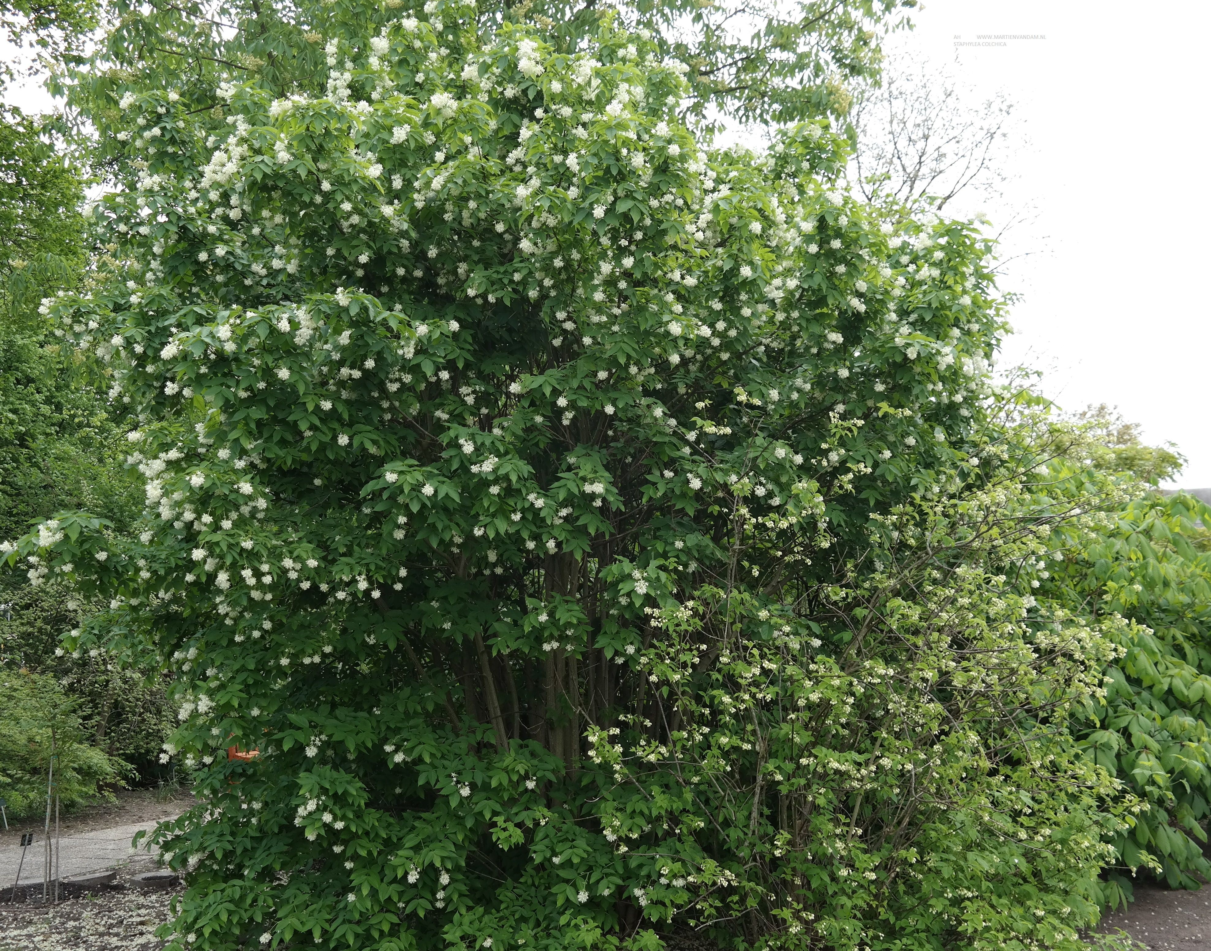 beautiful staphylea colchica u kaukasische pimpernoot grote struik of kleine boom met groene. Black Bedroom Furniture Sets. Home Design Ideas