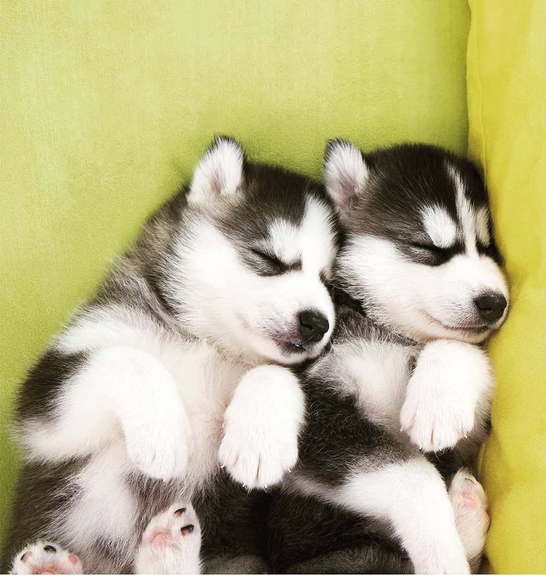 Hgy On Instagram Husky Cute Puppies Dogsofinstagram Love