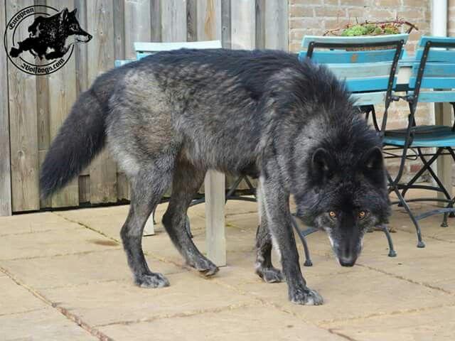 European Wolfdogs