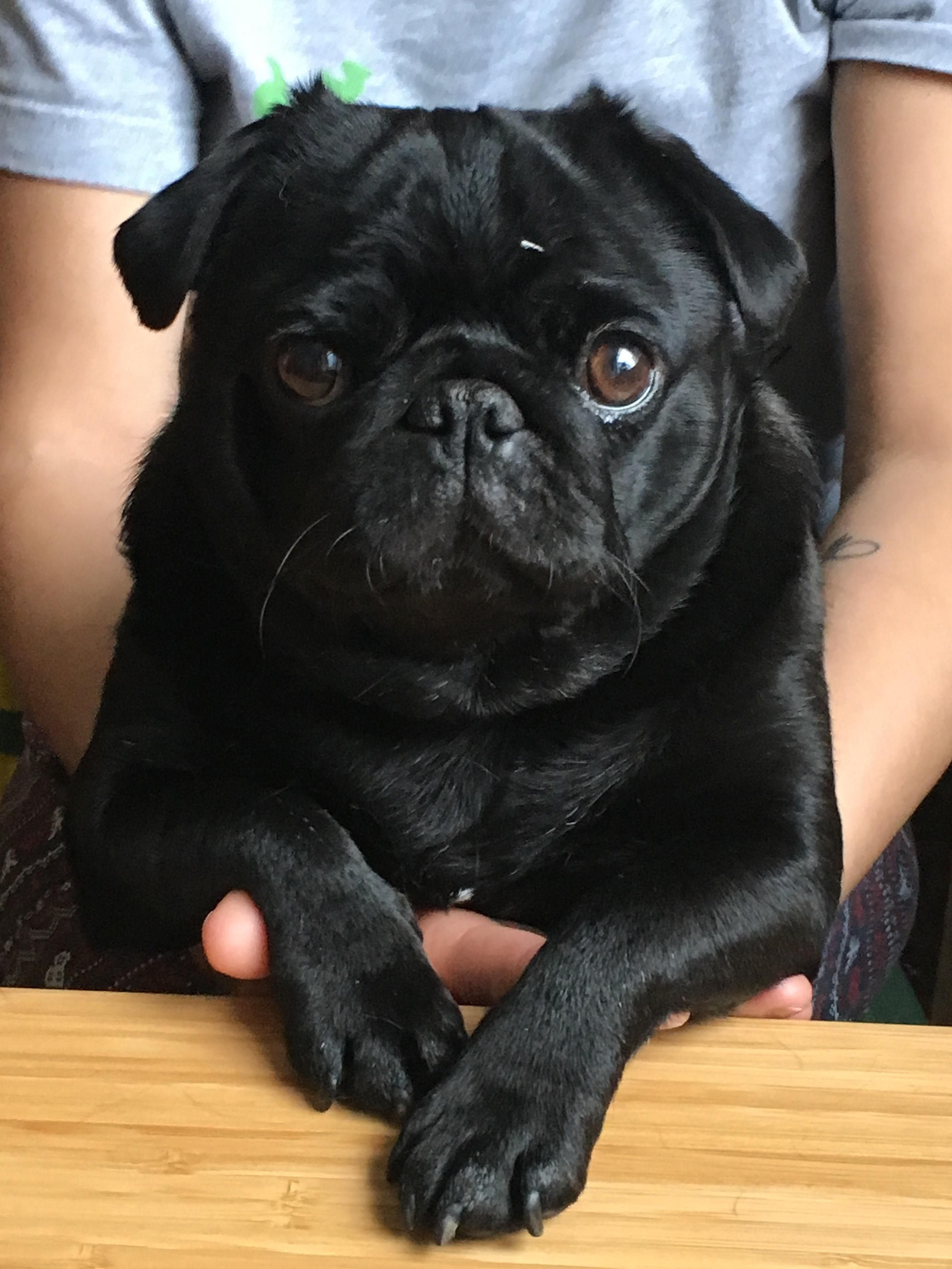 Betty Built For Mischief Https Ift Tt 2ntc6rn Black Pug