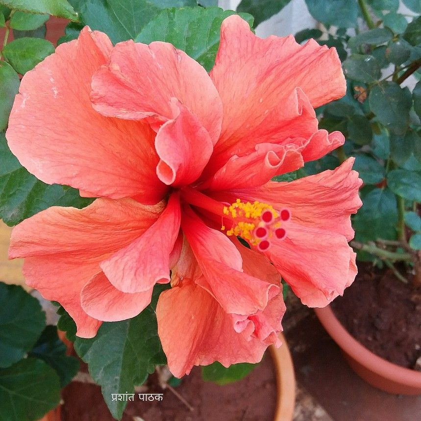 Hibiscus Home Garden Mobile Snap Pune India Tropical Flower Plants Cactus Garden Landscaping Hibiscus Rosa Sinensis