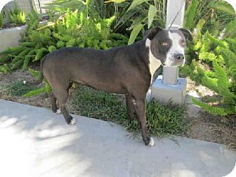 San Pedro, CA - Pit Bull Terrier Mix. Meet CHICA, a dog for adoption. http://www.adoptapet.com/pet/11476883-san-pedro-california-pit-bull-terrier-mix