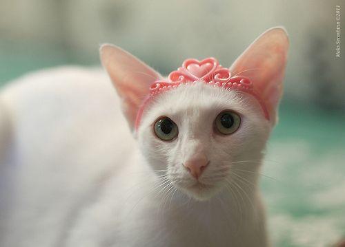 (via Maks Seroshtan) Cat dressed up, White cats, Pet
