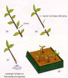 Reproduccion asexual en plantas esquejes de zarzamora