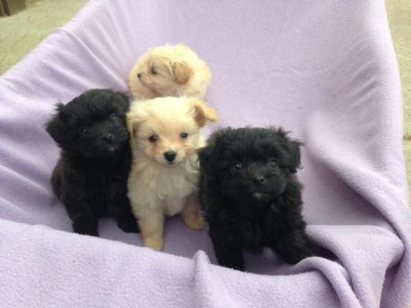 Beautiful Toy Poodle X Pomeranian Puppies Puppies Dogs