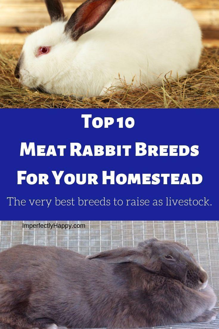 Top 10 Meat Rabbits   Meat rabbits breeds, Meat rabbits ...