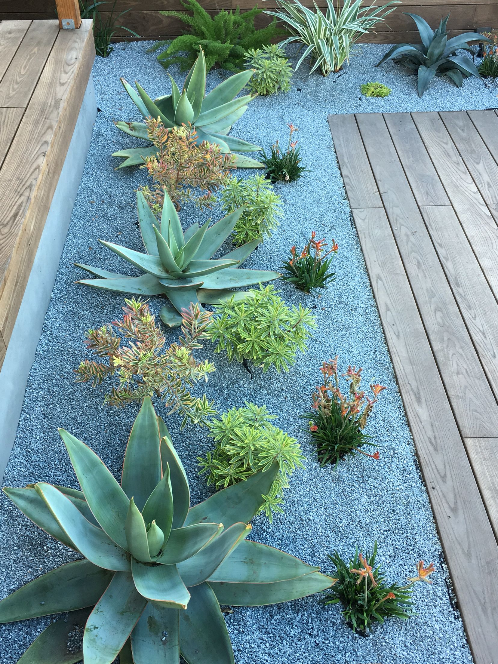 Drought tolerant plantings aloes and kangaroo paw more for Exterior plants landscaping