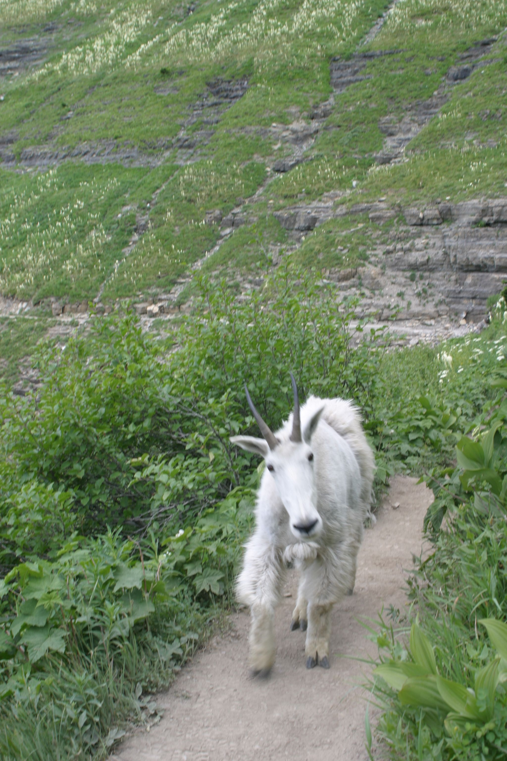 """Meeting a mountain goat on Highline Trail - the look says it all,  """"Hey, get out of my way.""""  And, we did."""