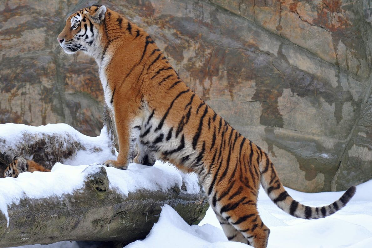 Tiger subspecies and numbers in the wild San Diego Zoo