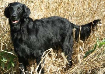 The Flat Coated Retreiver If This One Had A White Blaze He Could Be Our Old Dog Shadow Flat Coated Retriever Curly Coated Retriever Retriever