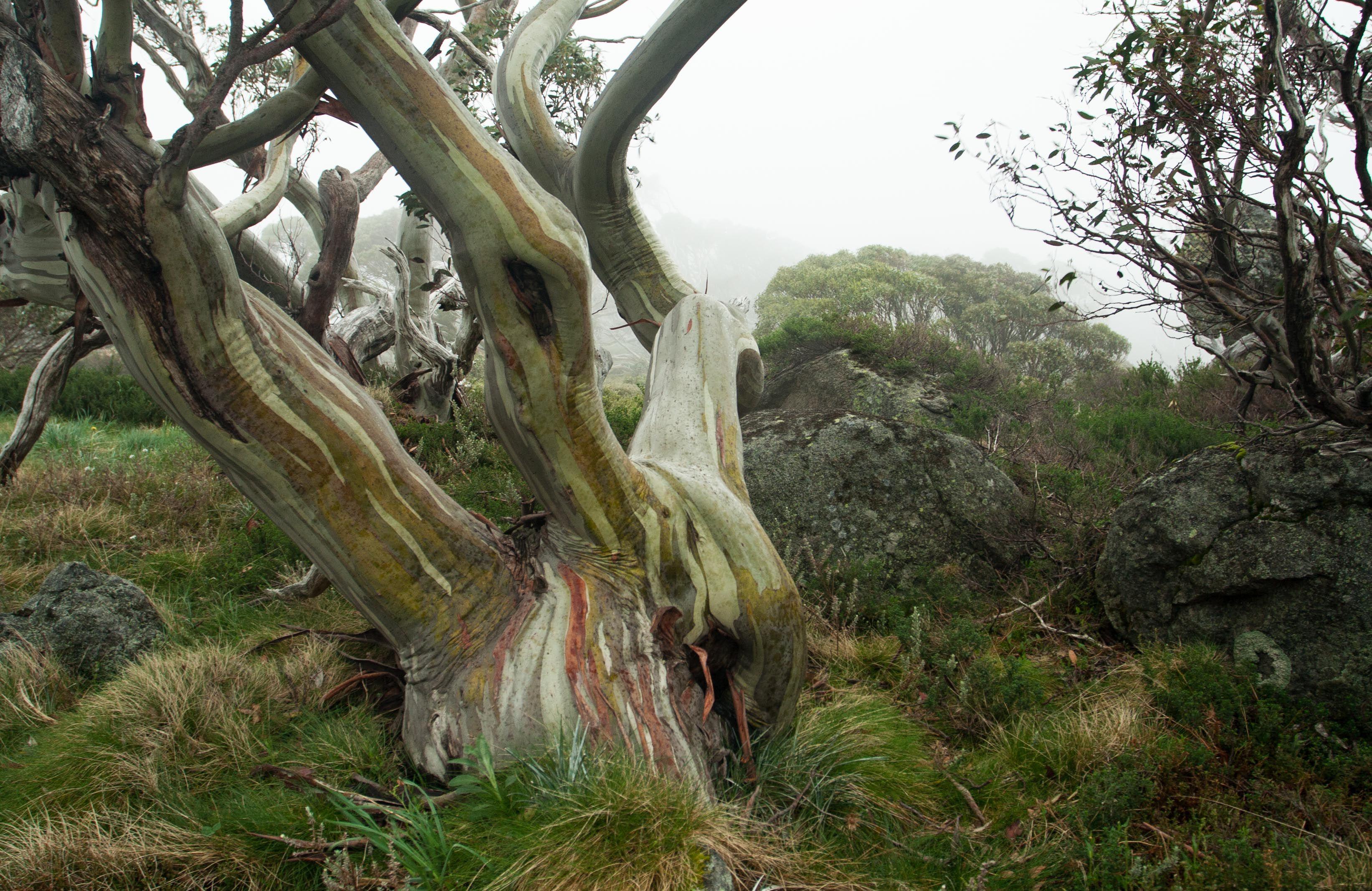 Snowgum, Mt Kosciuszko National Park, Australia