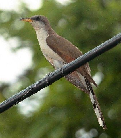 Yellow Billed Cuckoo Bird In Oklahoma