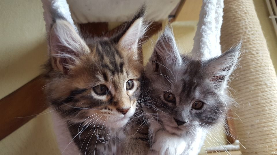 Pin On Maine Coon Cats For Sale