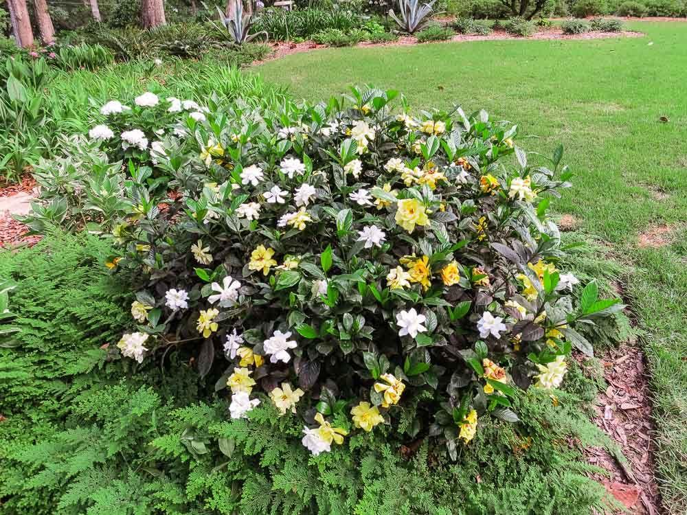 August Beauty Gardenia For Sale Buy Gardenia Shrubs Perfect Plants August Beauty Gardenia Perfect Plants Botanical Gardens Near Me