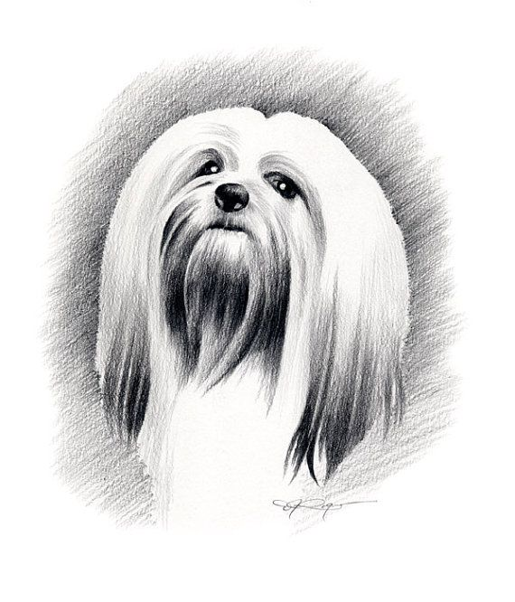 Lhasa Apso Art Print By Artist Dj Rogers Dog Pencil Drawing