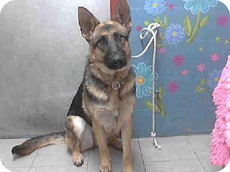 Lancaster Ca Female German Shepherd Dog Mix Meet Summer A Dog For Adoption German Shepherd Adoption German Shepherd Dogs Pets