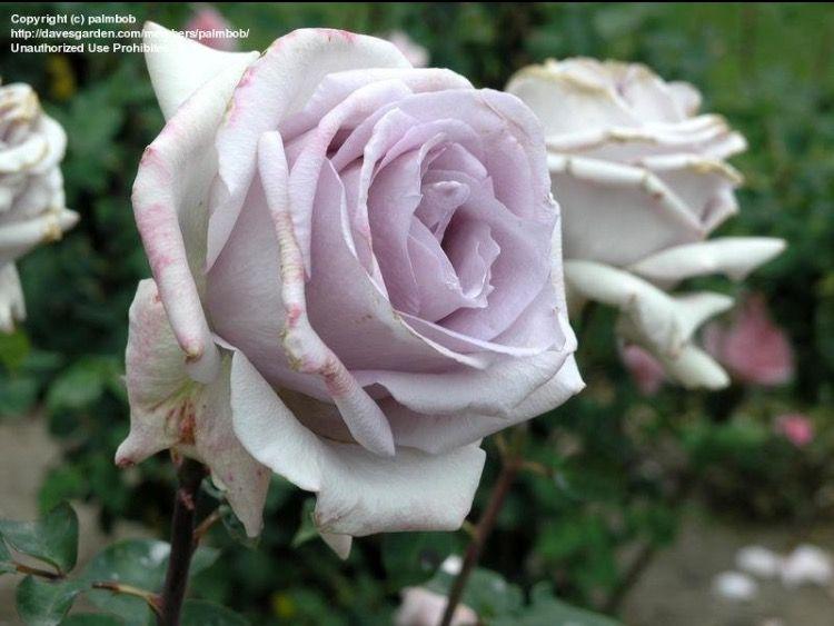 "White Garden Rose Bush hybrid tea rose rosa ""silver spoon"" silver rose bush | ~ black +"