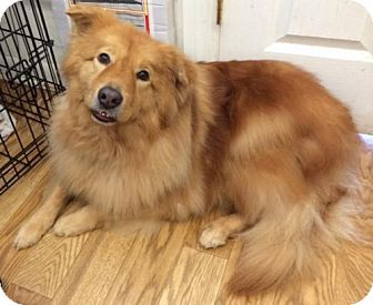 Palm Harbor Fl Golden Retriever Chow Chow Mix Meet Charlie A