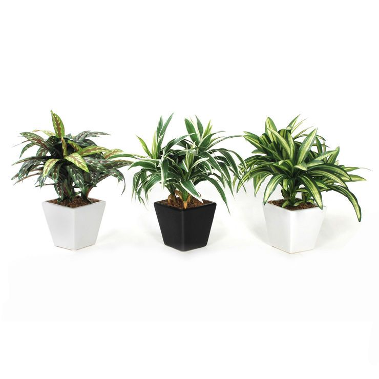 Dracaena Taper Plant in Square Pot 11-in, Assorted  (sold separately)