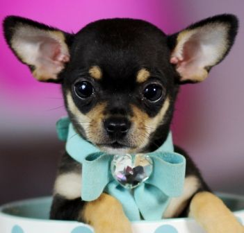Micro Teacup Chihuahua S Bring This Perfect Baby