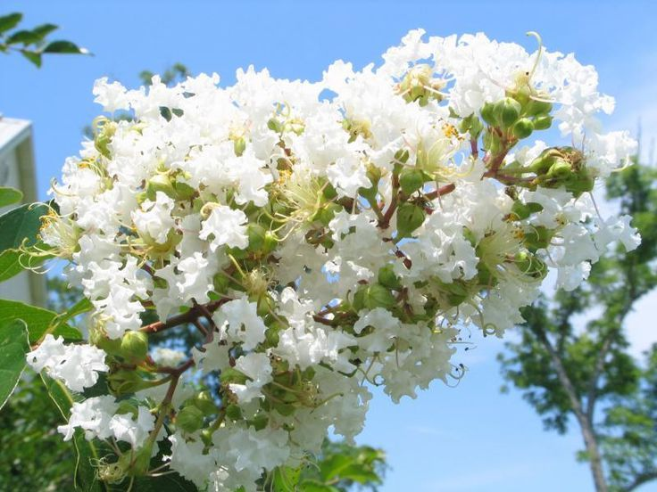 Image result for crepe flower white plants growing gardening natchez crepe myrtle 3 ft white flowering tree with summer blooms mightylinksfo Images
