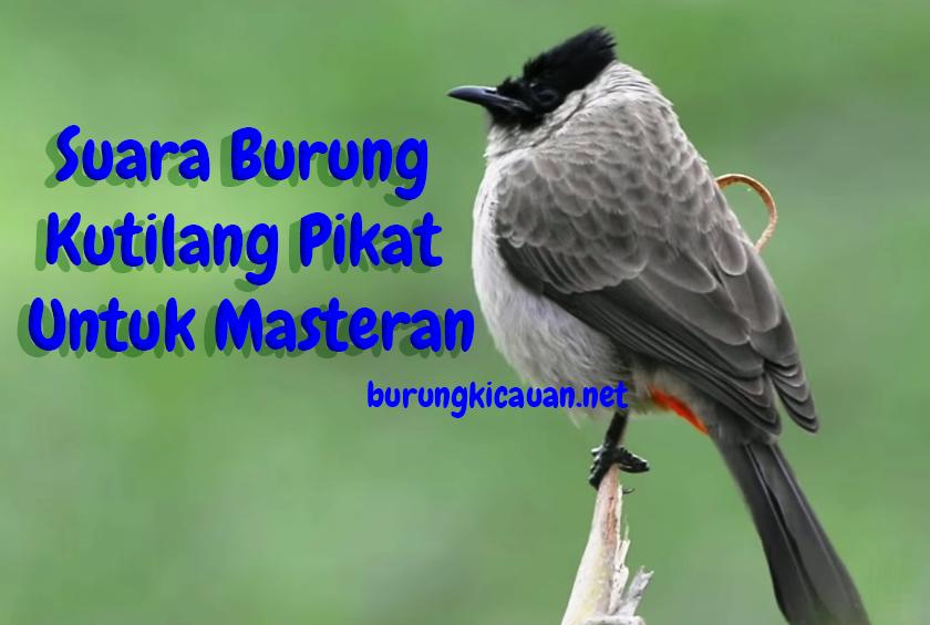 Download Suara Burung Kutilang Pikat Untuk Masteran Burung Suara