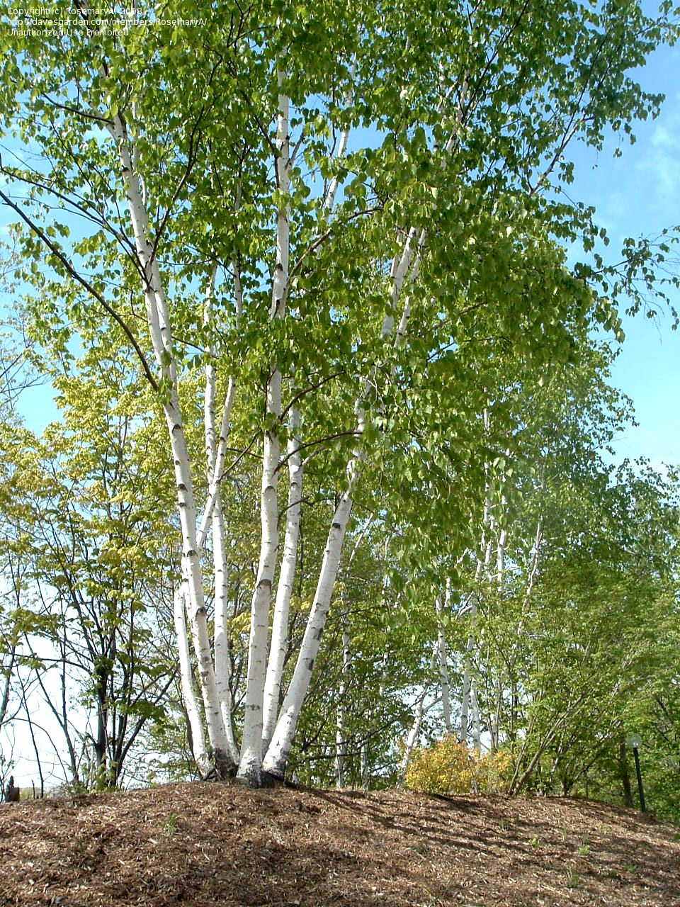 Full Size Picture Of Paper Birch American White Birch Canoe Birch Betula Papyrifera White Birch Trees Indoor Palm Trees Cedar Garden