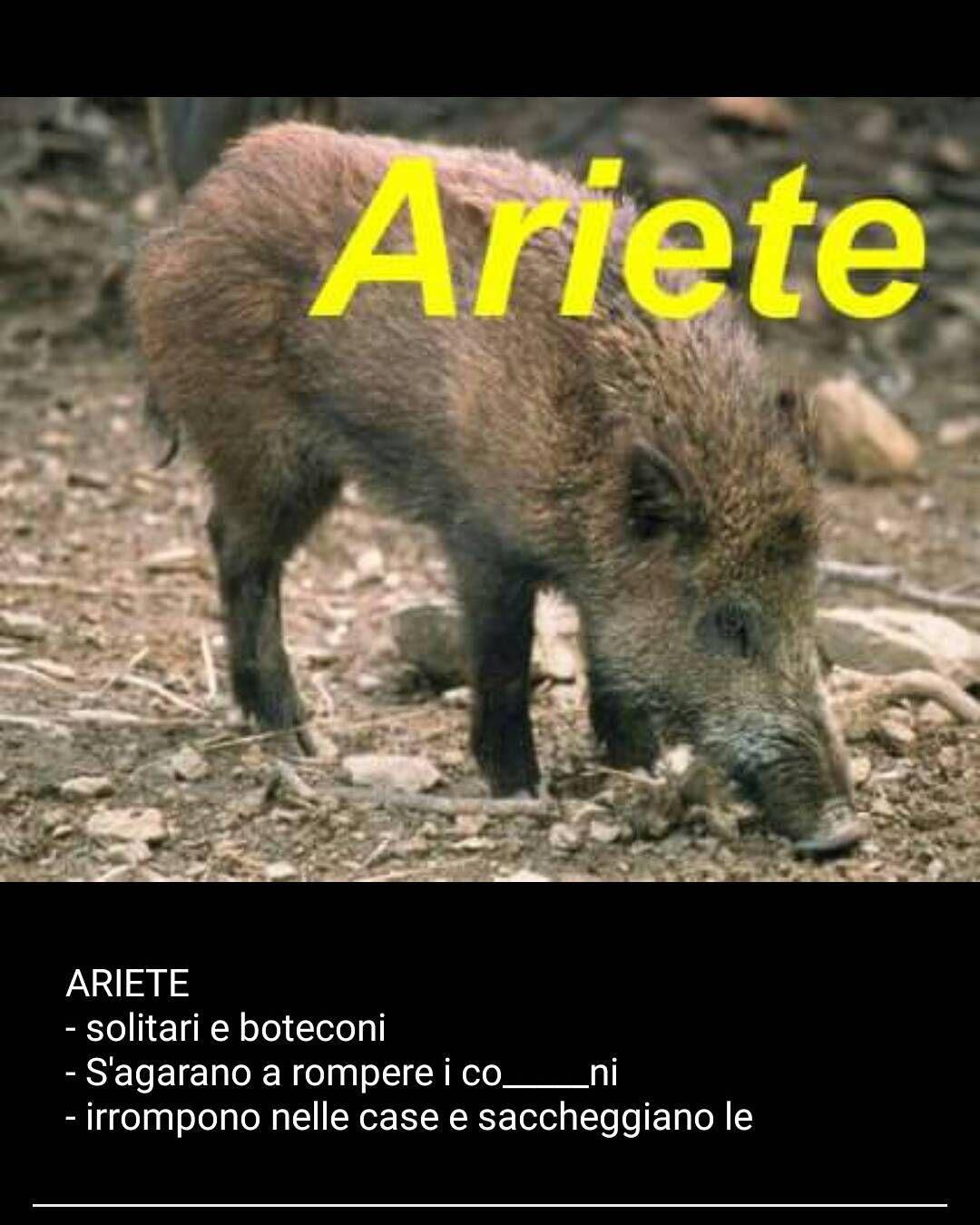 #ariete #complimenti a chi ha inventato l'oroscopo del #cinghiale per noi nati ad #arezzo è #pertinentissimo