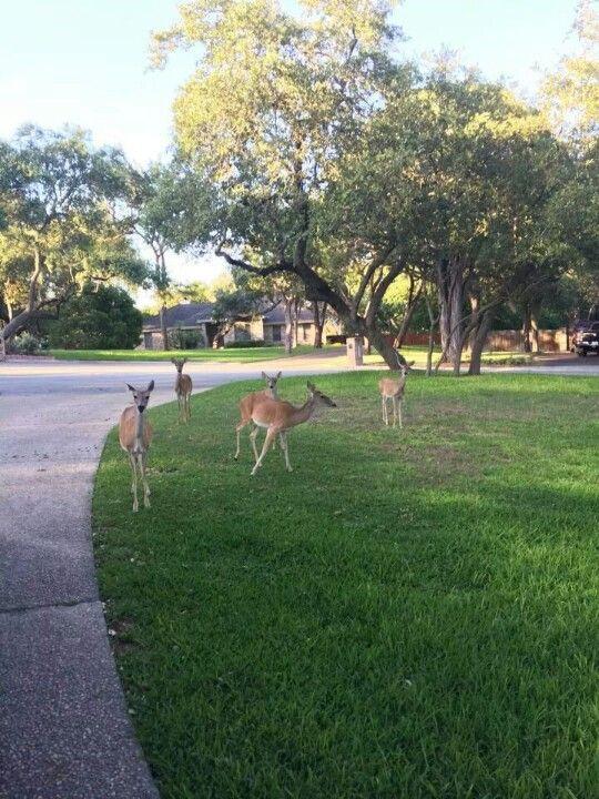 Adorable deer in Garden Ridge Texas -outside of San Antonio   From ...