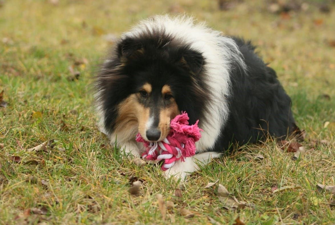 23 Rough Collie Rottweiler Mix In 2020 With Images Rottweiler
