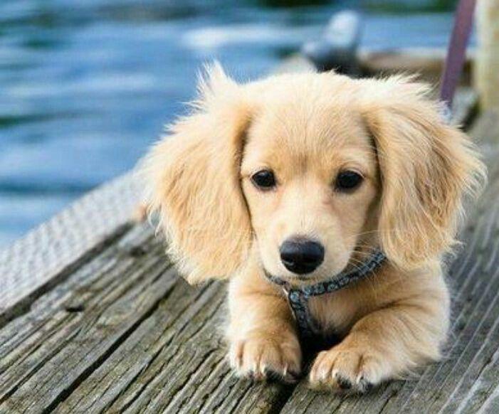So Adorable Cute Animals Puppies Golden Retriever Dachshund
