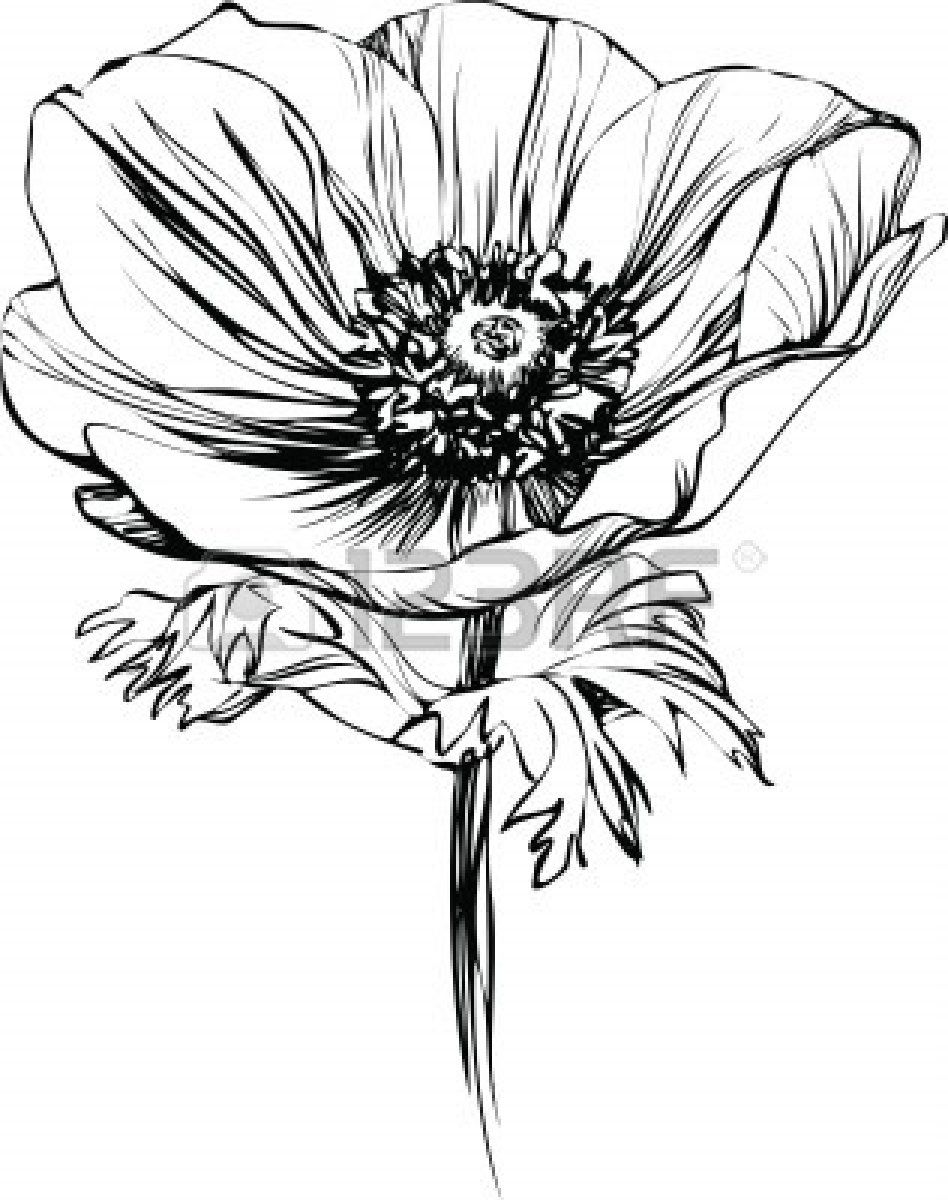 Anemone Flower Line Drawing : Black and white picture poppy flower on the stalk stock