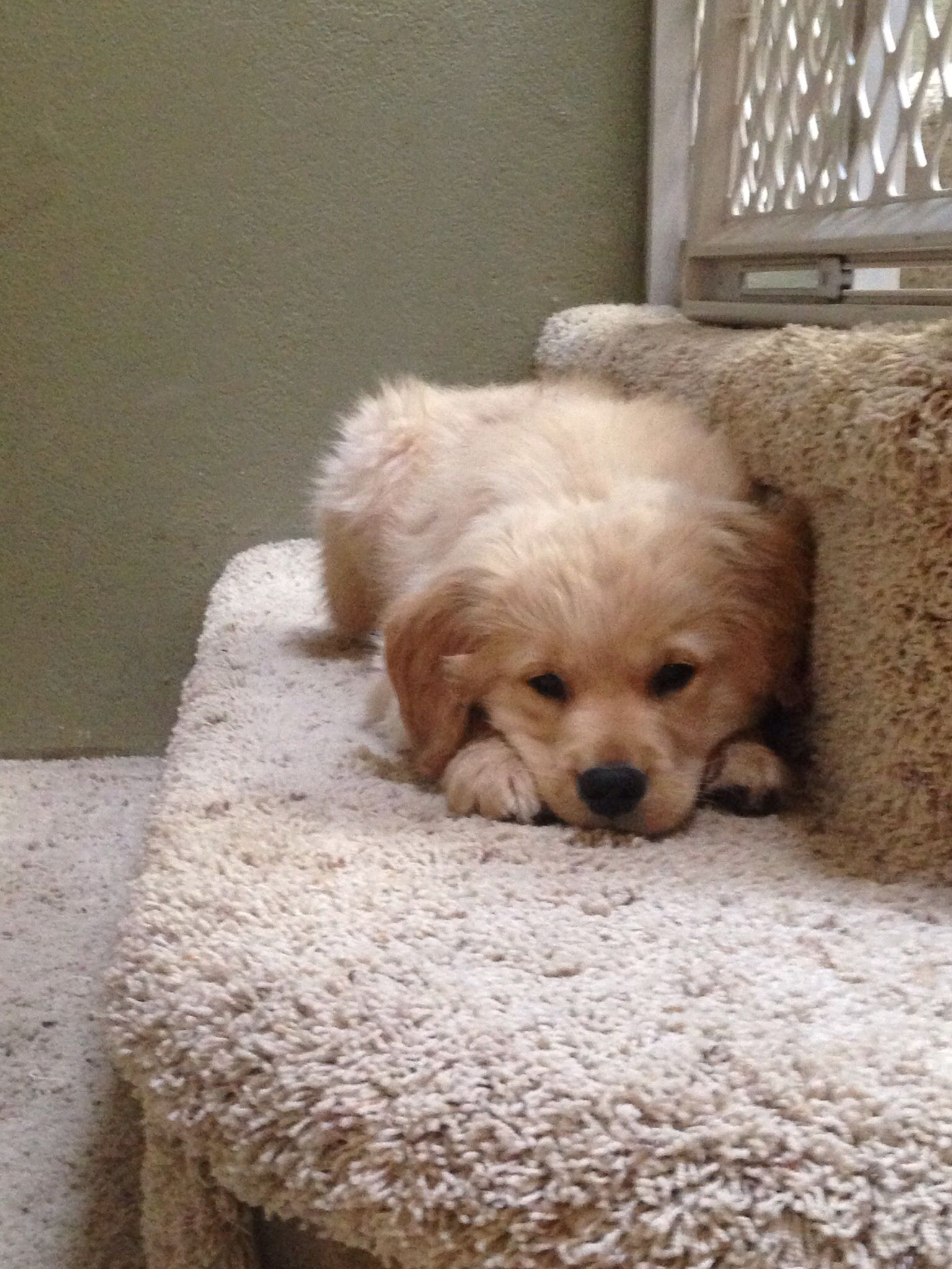 Golden retriever puppy pouting Retriever puppy, Golden