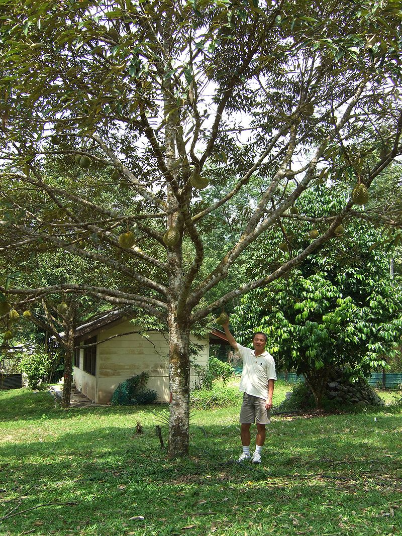 Durian Trees Are Large Growing To 25 50 Metres 82 164 Ft In Height Depending On The Species 10 The Leaves Are Evergreen Durian Tree Durian Fruit Plants
