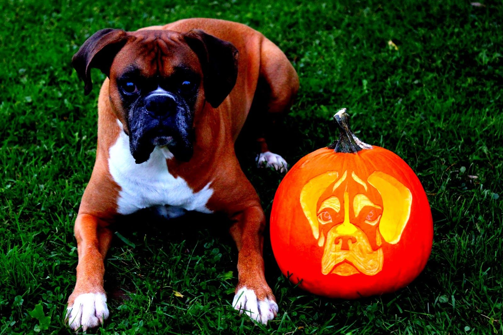 Puppy Pumpkins Boxer dogs, Boxer puppies, Dog halloween