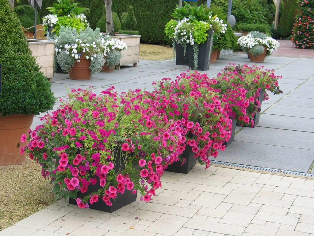 Petunias At The Entrance Of The Gardens Of Appeltern Www Appeltern Nl Tuin