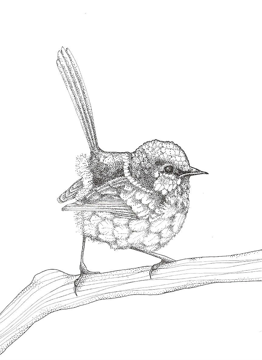 Ink drawing of a male Fairy wren who lives in Australia ...