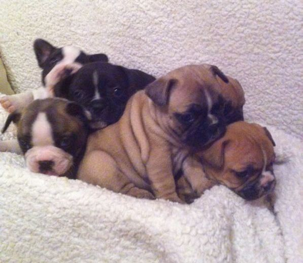 Pin by Alexis Kahler on Dogs French bulldog breeders