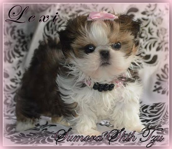 Sumora Chinese Imperial Shih Tzu S Los Angeles Imperial Shih