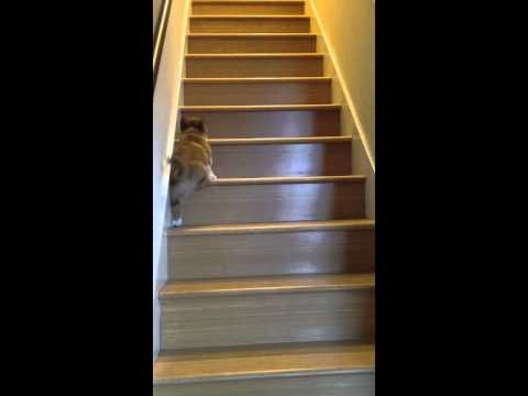 Oh My God This Baby Corgi Trying To Go Upstairs Most Adorable