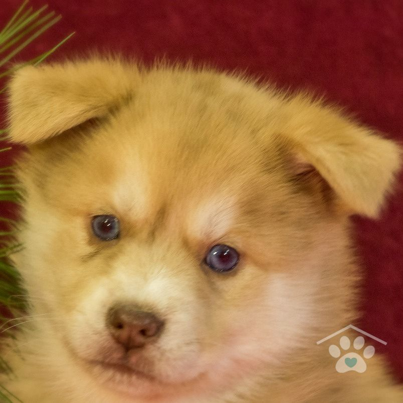 Pin On Pomsky Puppies For Sale