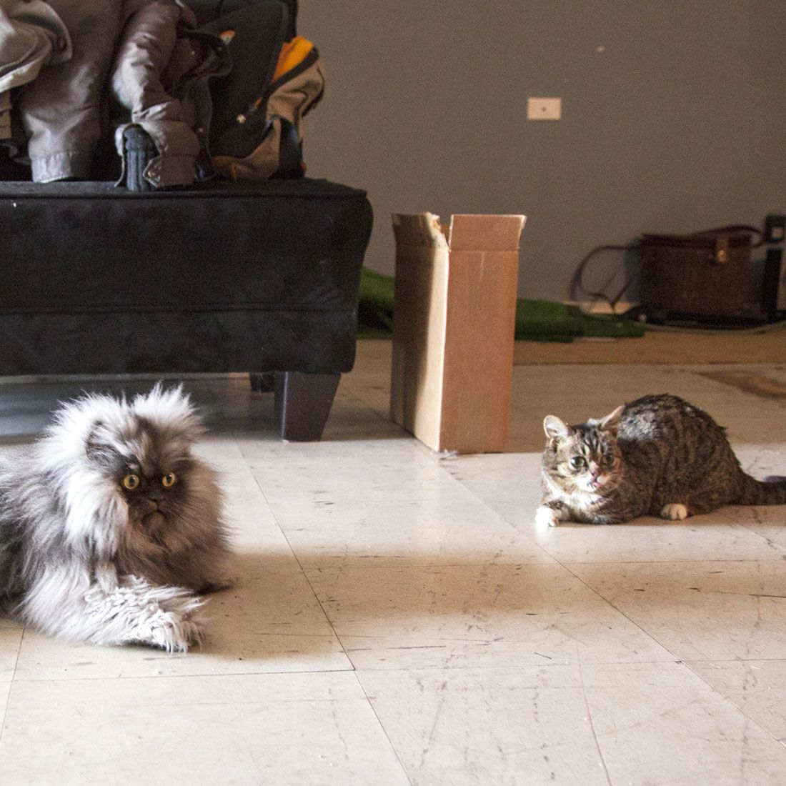 Lil' Bub AND Colonel Meow in the same room?! Yay! Grumpy